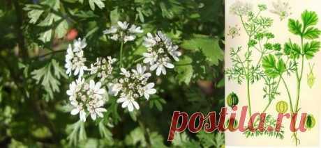 Кориандр посевной, кинза | Рецепты народной медицины