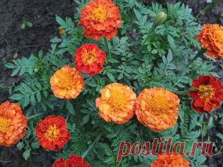 В междурядьях каких растений стоит посадить бархатцы для их защиты от вредителей?   Летний досуг   Яндекс Дзен