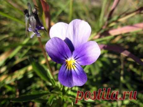 Что делать, если не цветут фиалки: основные причины и рекомендации по уходу