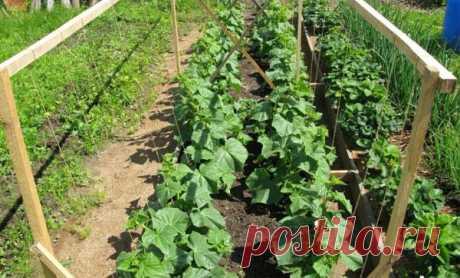 Правильное выращивание огурцов в открытом грунте: особенности ухода