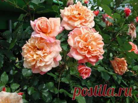 Цветущие плетистые розы: саженцы, описание, обрезка