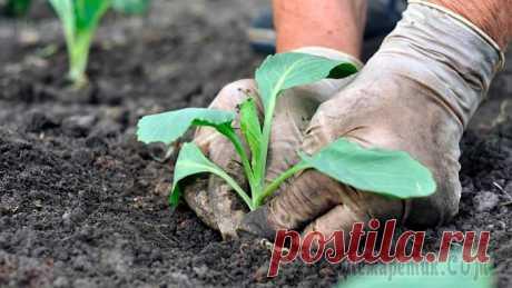 Почему вытягивается капуста на грядке и что делать Почему вытягивается капуста на грядке и что делать Культура требует правильной агротехники выращивания, поскольку при воздействии неблагоприятных факторов снижается урожайность.Важно знать, по каким ...