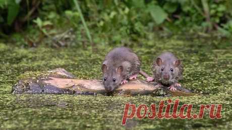 «Пора бежать с этого корабля» Две крысы в недальнем плавании на снимке Натальи Сытиной: nat-geo.ru/community/user/115889/