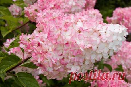 Гортензия метельчатая — Садоводка