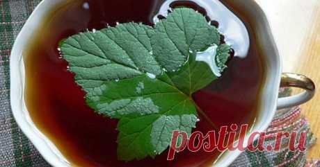 Из листьев черной смородины не первый год делаю ферментированный чай. Хочу поделиться рецептом!  Чаепитие — занятие не только приятное, но и полезное. Особенно, если напиток заваренный из натуральных листьев какой-нибудь душистой травы, будь то малина, земляника, черная смородина или что-то иное…