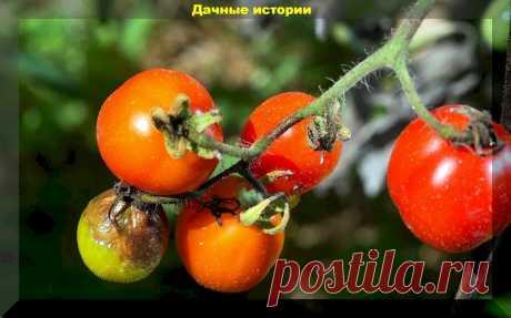 Что нужно знать о фитофторе, чтобы не потерять урожай? Фитофтора: научный подход   Дачные истории   Яндекс Дзен