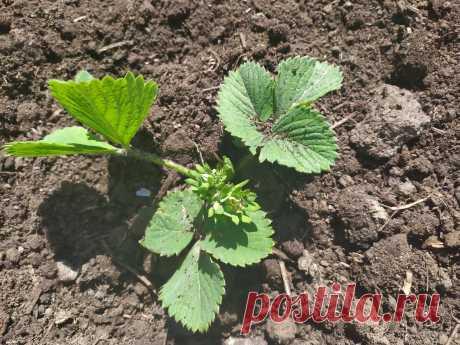 Когда посадить семена клубники на рассаду и как их можно стратифицировать с помощью снега | Летний досуг | Яндекс Дзен