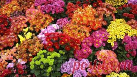 Как разводить хризантемы? | Растения
