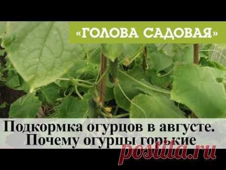 Голова садовая - Подкормка огурцов в августе. Почему огурцы горькие