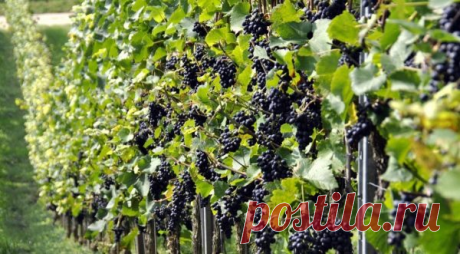 Сколько удобрений нужно винограду для хорошего урожая