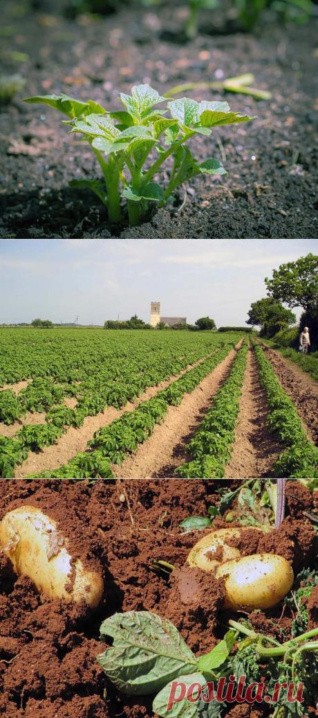 Советы по выращиванию картошки - от посадки до хранения