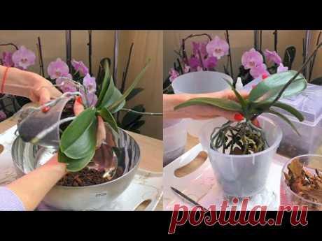 Пересадка орхидеи, ПОДРОБНО, как есть.