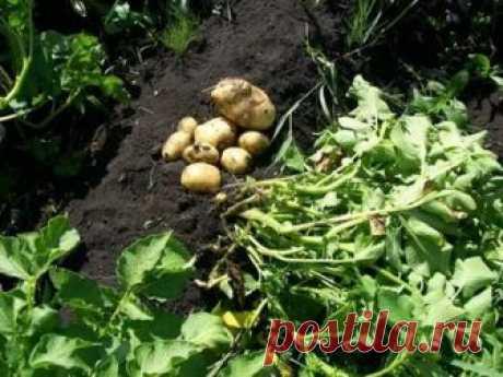 Использование картофельной ботвы (после сбора урожая) на приусадебном участке  Сейчас идет время сбора урожая картофеля, и многие огородники задаются вопросом, что делать с картофельной ботвой? Сегодня я расскажу несколько способов применения картофельной ботвы с пользой для ог…