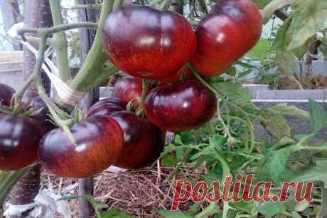 Томат Бабушкина гордость F1 характеристика и описание сорта, отзывы об урожайности помидоров и фото
