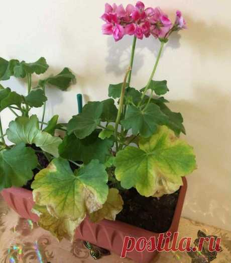 Как только у Герани начинают Желтеть листья - подкармливаю её Янтарной кислотой. Результат впечатляющий!   ЦВЕТЫ НА ОКНЕ   Яндекс Дзен