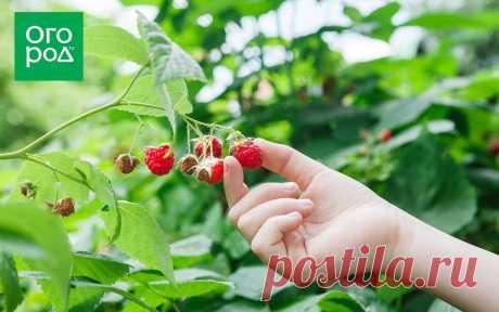 Чем подкормить малину осенью после сбора урожая и обрезки   Малина, ежевика (Огород.ru)