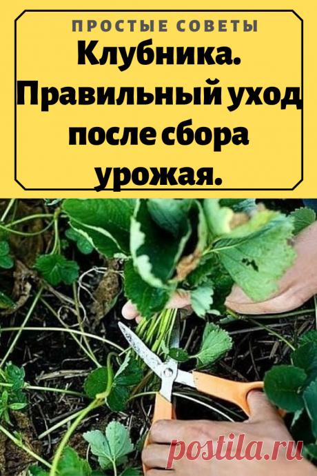 Клубника. Правильный уход после сбора урожая. – Простые советы