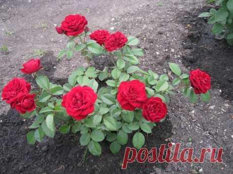 Как правильно размножать розы черенками | Болтушка - обо всём на свете! | Яндекс Дзен