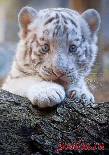 «Белый тигренок на бревне.» — карточка пользователя tcuzminova в Яндекс.Коллекциях