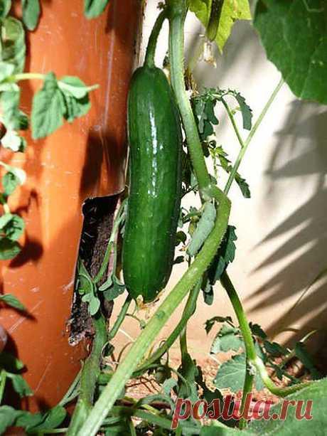 Как вам такой способ выращивания огурцов?