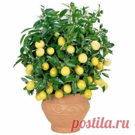 Выращиваем лимонное дерево в чашке.