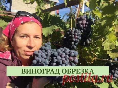 КАК ОБРЕЗАТЬ ВИНОГРАД. Дачные сезоны 20.10.18.