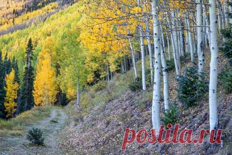 Double-track to Color Uncompahgre National Forest, San Juan Mountains, Colorado  Walking down an abandoned  county road along a hillside covered in aspens in their fall color.