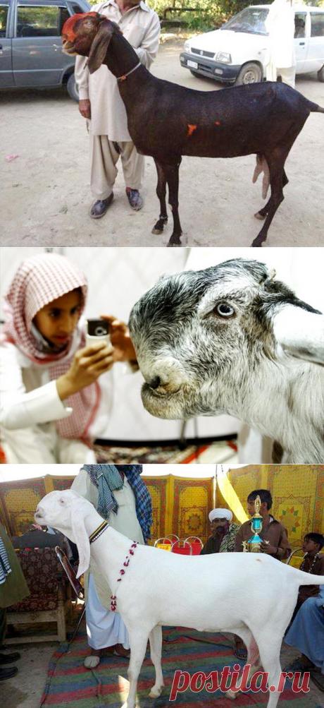 Дамасская коза Шами – фото и история породы