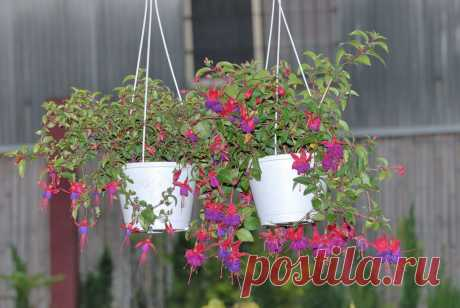 Фуксия (лат. Fuchsia Triphylla Flore Coccinea)