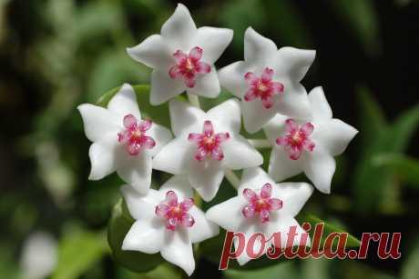 Хойя: уход в домашних условиях, виды воскового плюща, размножение, цветение