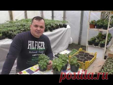 Вегетативное размножение сурфинии (ампельной петунии)- 100% укоренение!)))