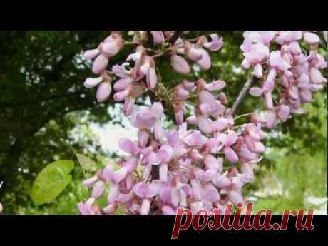 Lyudmila Senchina - the White acacia clusters fragrant