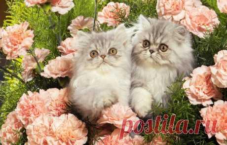 Обои цветы, котята, персидские картинки на рабочий стол, раздел кошки - скачать