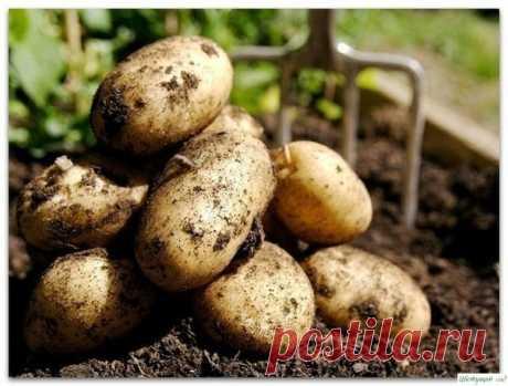 Nueve consejos para una alta cosecha de las patatas