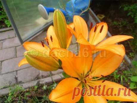 Чем подкармливать лилии для обильного цветения