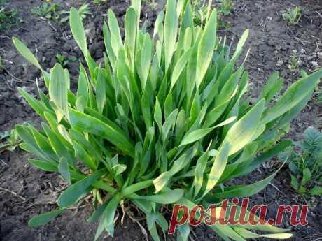 Лук-слизун: уход, выращивание, польза Лук-слизун – настоящая находка для тех, кто любит луковый и чесночный вкус, но не любит горечи, кто предпочитает собирать зелень ранней весной и ценит великолепные лечебные свойства огородных культур....