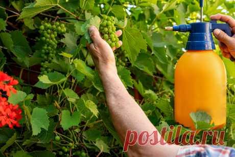 Как ухаживать за виноградом летом? Полив, обрезка, подкормки. Фото — Ботаничка.ru
