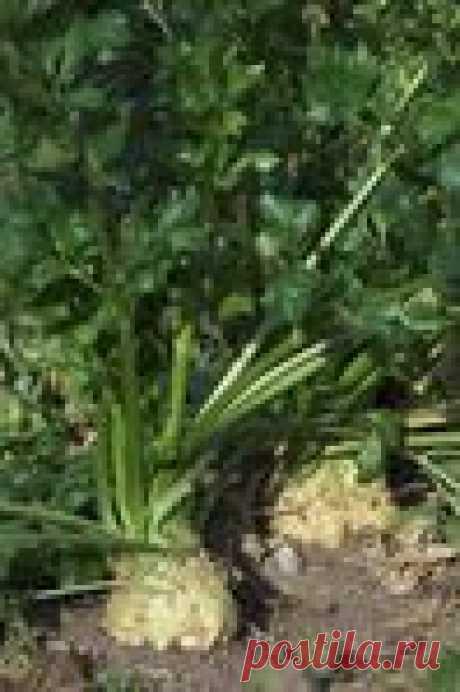 Сельдерей - зри в корень