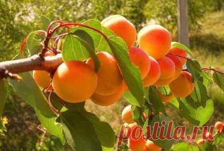 Вот что делать чтобы рос абрикос! Абрикос— дерево,дающее самые сочные,сладкие ивкусные плоды. Абрикос растет практически накаждом садовом участке,ноне увсех хорошо. Уодних садоводов ежегодный урожай просто девать некуда,аудругих если засезон удается собрать хотябы пол ведра— считай засчастье. Вчемже причина?