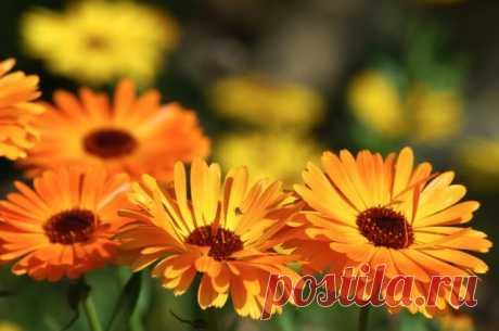 Сам себе цветовод: топ-10 цветов-самосевок | Летники (Огород.ru)