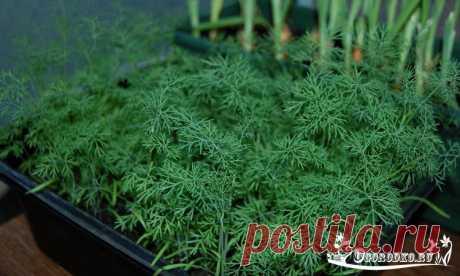 Выращивание укропа на подоконнике – как получить ароматную и пышную зелень дома