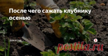 После чего сажать клубнику осенью Клубнику рекомендуется пересаживать один раз в три или четыре года. Но нужно знать тонкости.