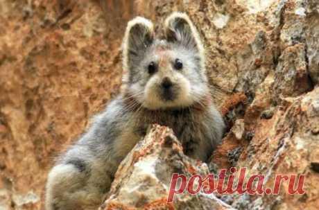 Впервые ученым удалось получить видео илийской пищухи — редкого и очень милого млекопитающего с гор Тянь-Шань на северо-востоке Китая