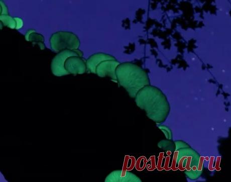 Японское хокку: гриб лунной ночи, или омфалот японский Омфалот японский (лат. Omphalotus japonicus) — вид грибов космополитического рода Omphalotus.