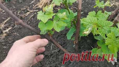 Нормировка зелёных побегов винограда на одноплоскостной шпалере. Технический сорт винограда