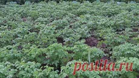Как Вырастить Богатый Урожай Картофеля