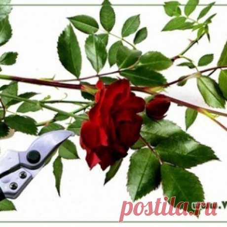Создание розария своими руками: выбор сортов роз и уход за ними