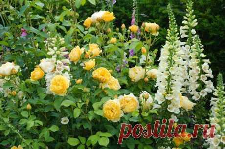 Que plantar cerca de las rosas