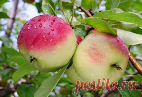 10 сортов яблонь, которые почти ничем не болеют | Яблоня, груша (Огород.ru)