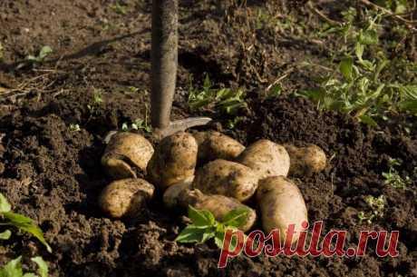 Секретные технологии выращивания картошки